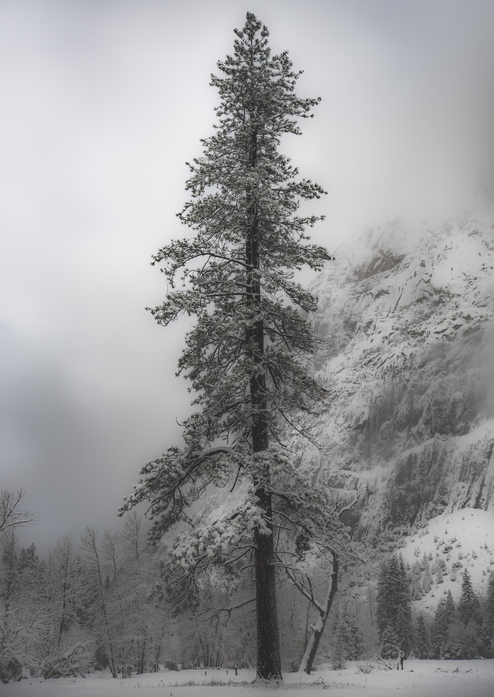 close up photography of pine tree covered with snow
