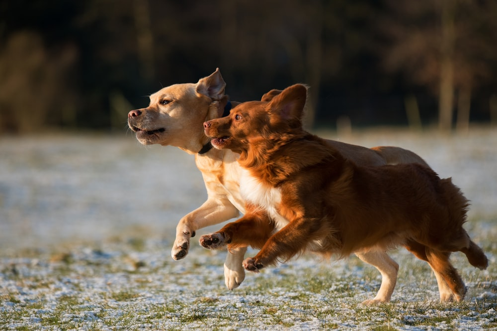 time lapse photo of two puppies running