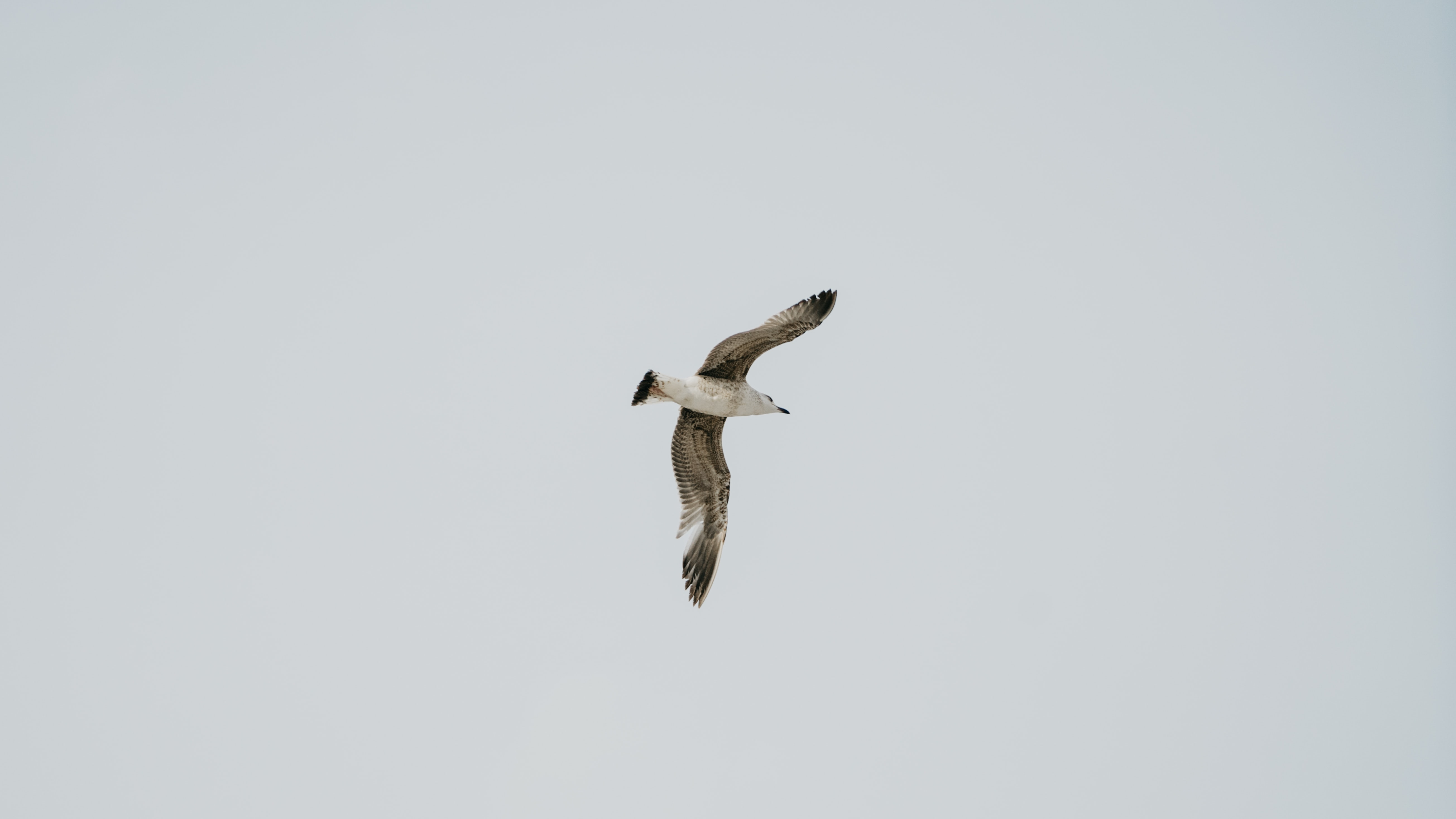 flying brown and white gull with white background