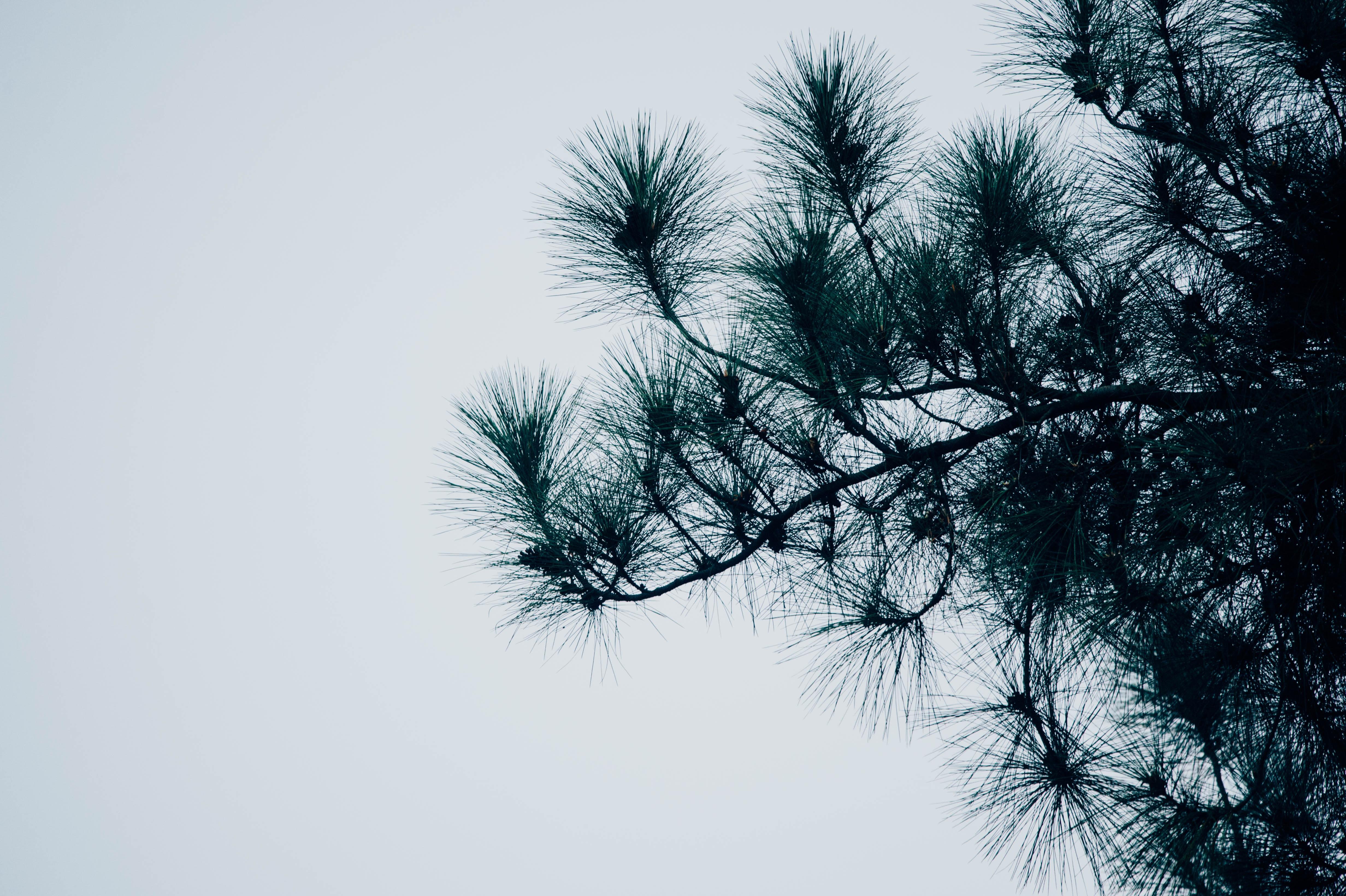 photo of fir tree