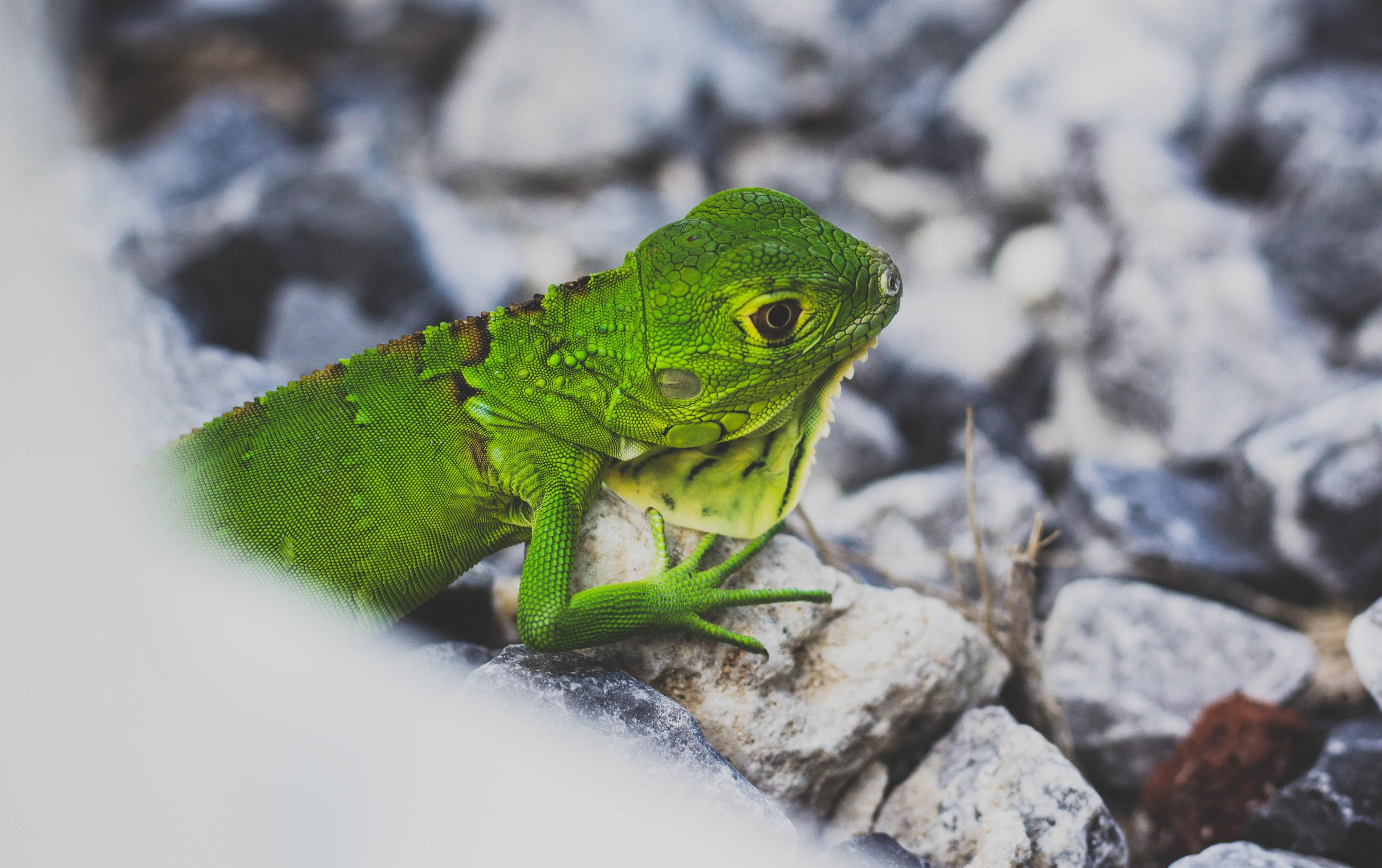 photo of green iguana on white stone