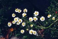 daisy flowers during night