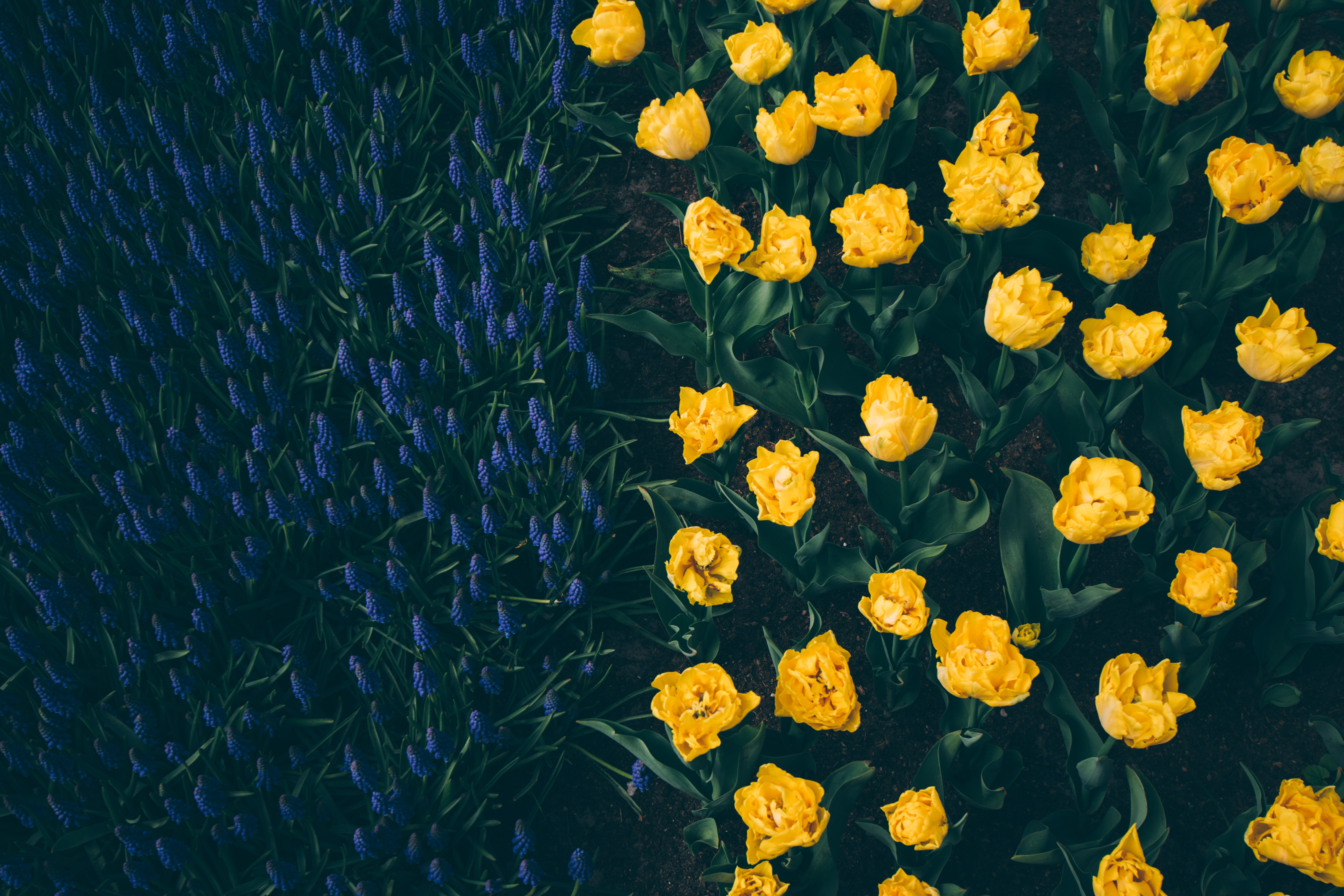 high-angle photography of bed of yellow flowers