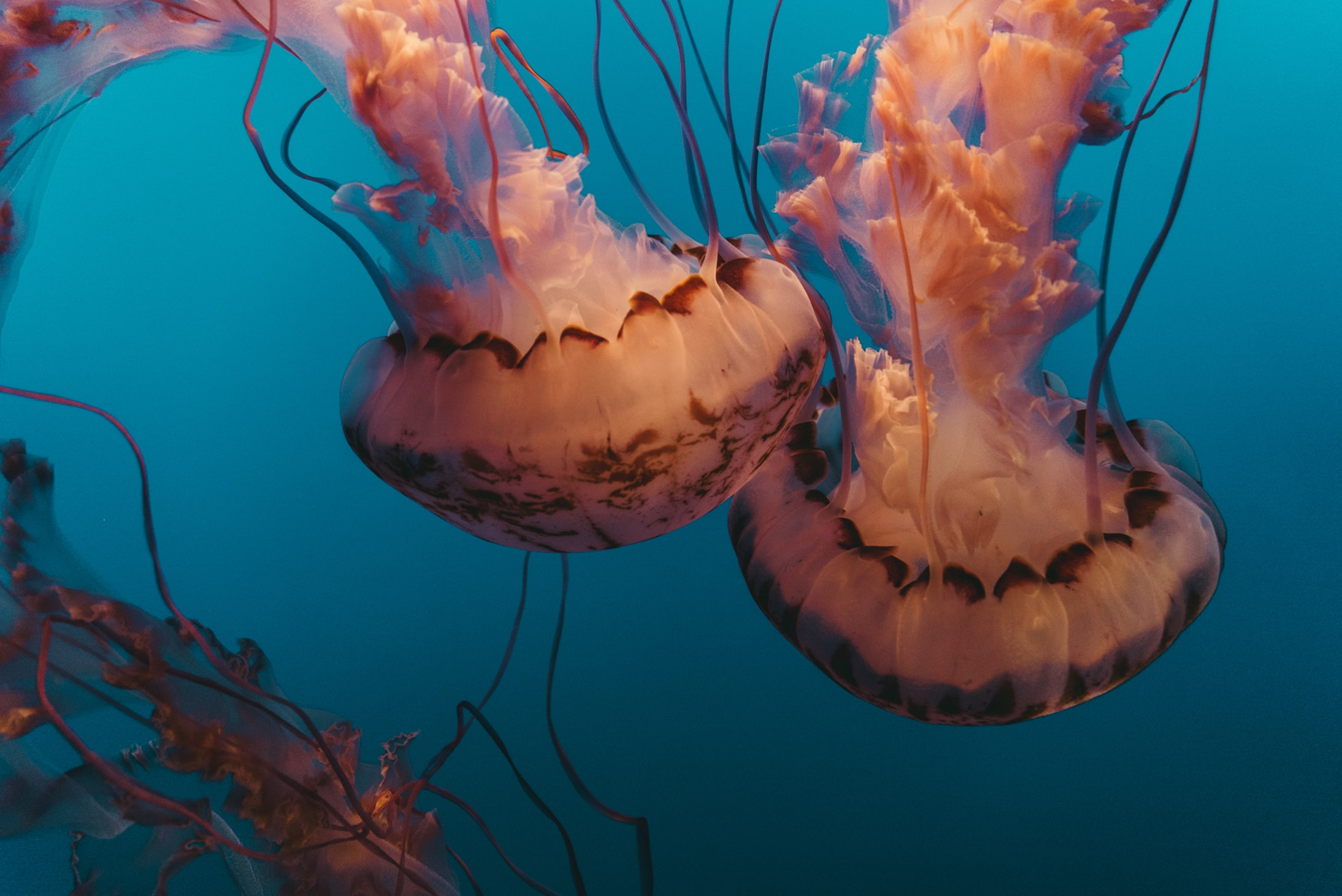 underwater photography of jellyfishes