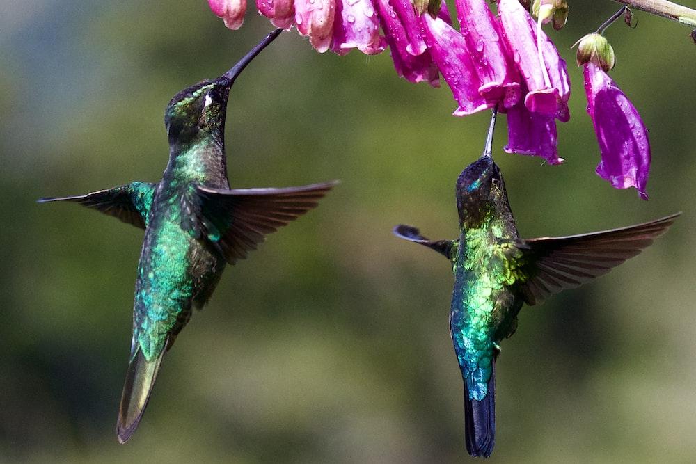 two hummingbirds under purple flower