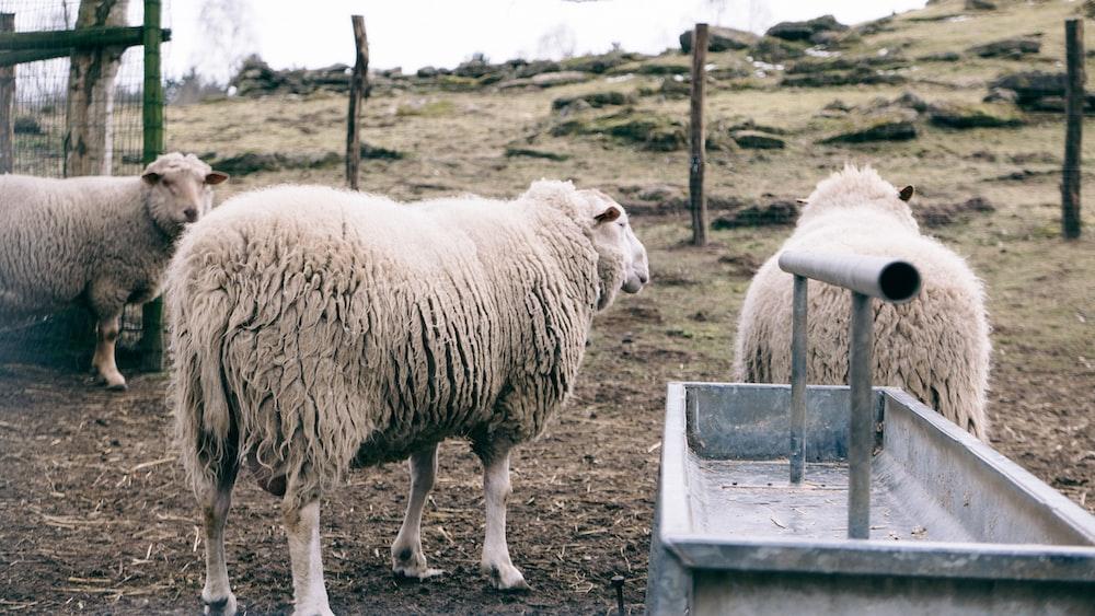 three white lambs
