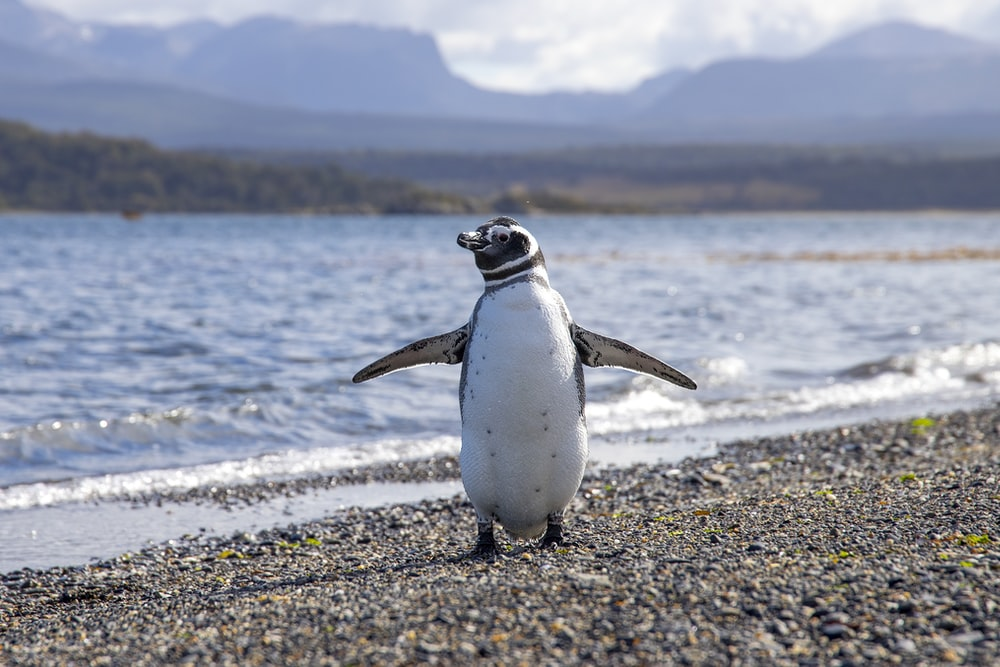 white and black penguin on seashore