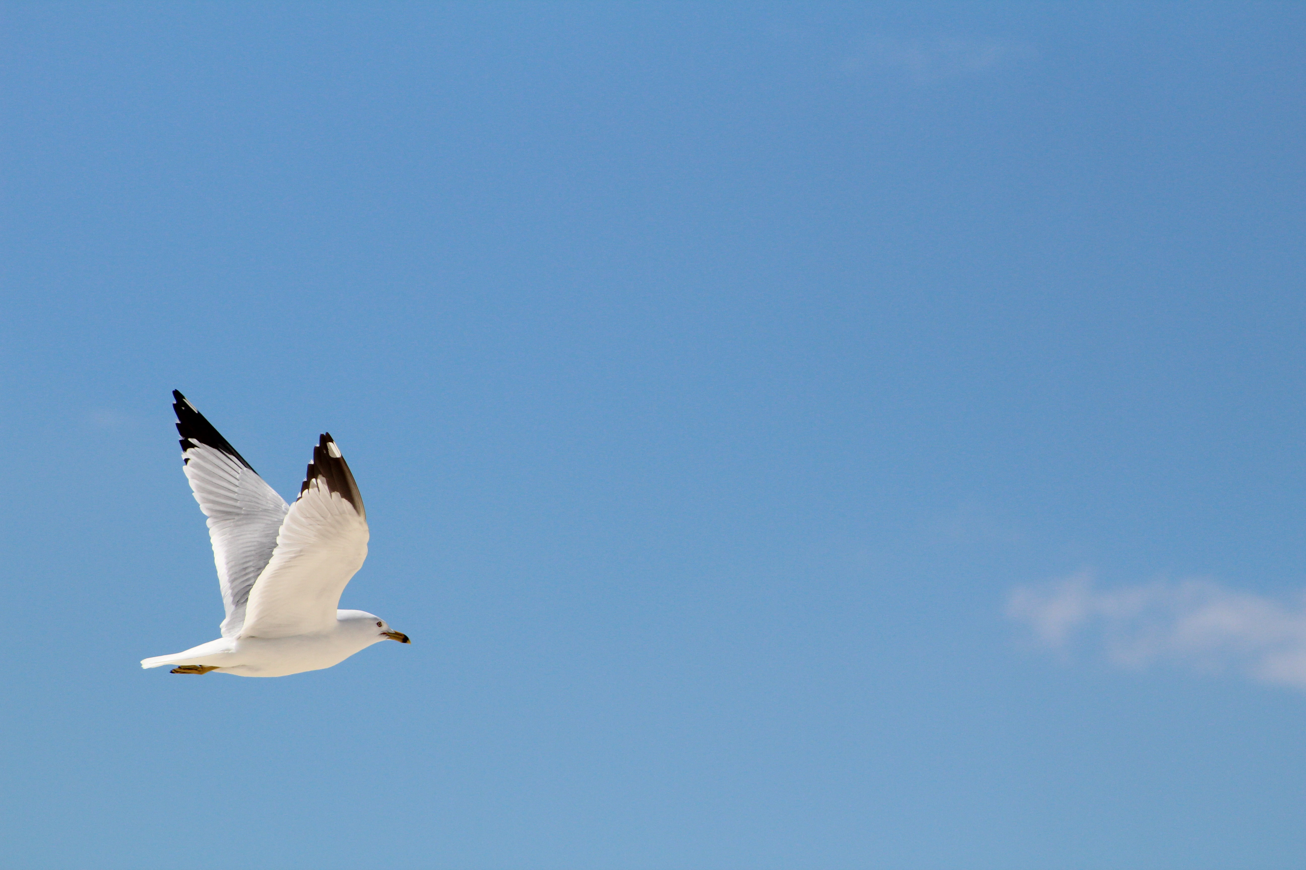 white and brown seagull flying in sky