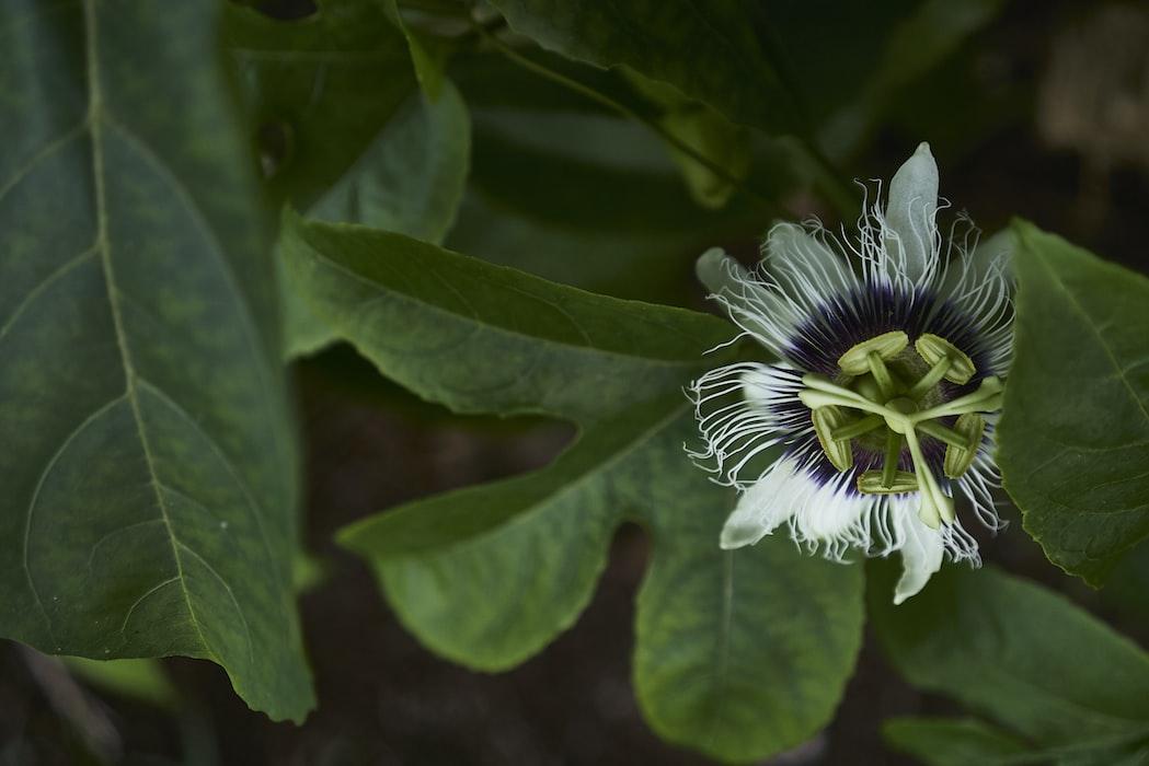 Flor de maracujá e suas folhas. O chá das folhas fazem parte do grupo de chás que ajudam a dormir.