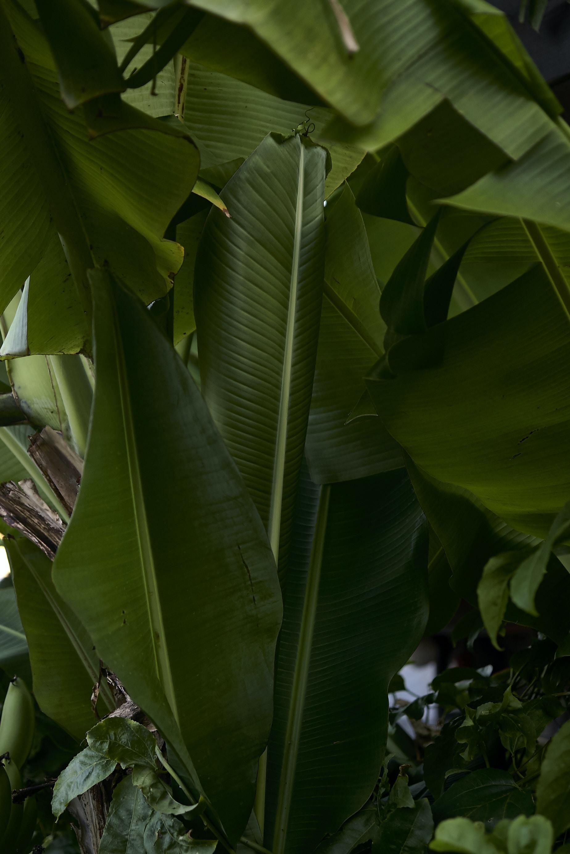 green leaf banana tree