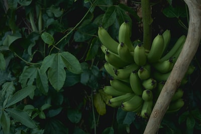 cluster of unripe banana fruit near green plants at daytime tahiti zoom background