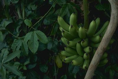 cluster of unripe banana fruit near green plants at daytime tahiti teams background