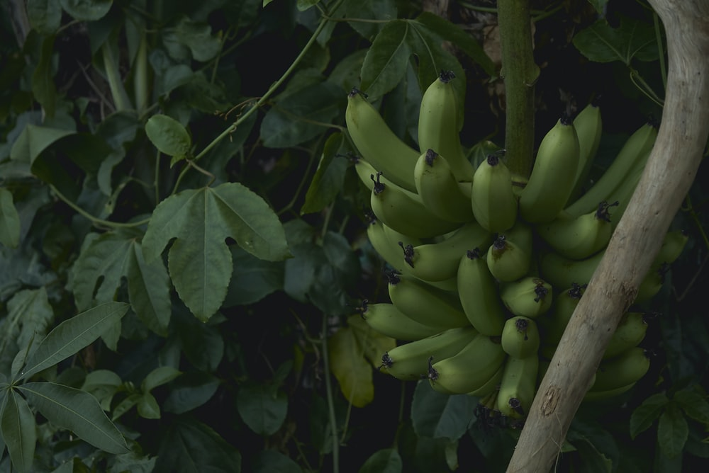 cluster of unripe banana fruit near green plants at daytime