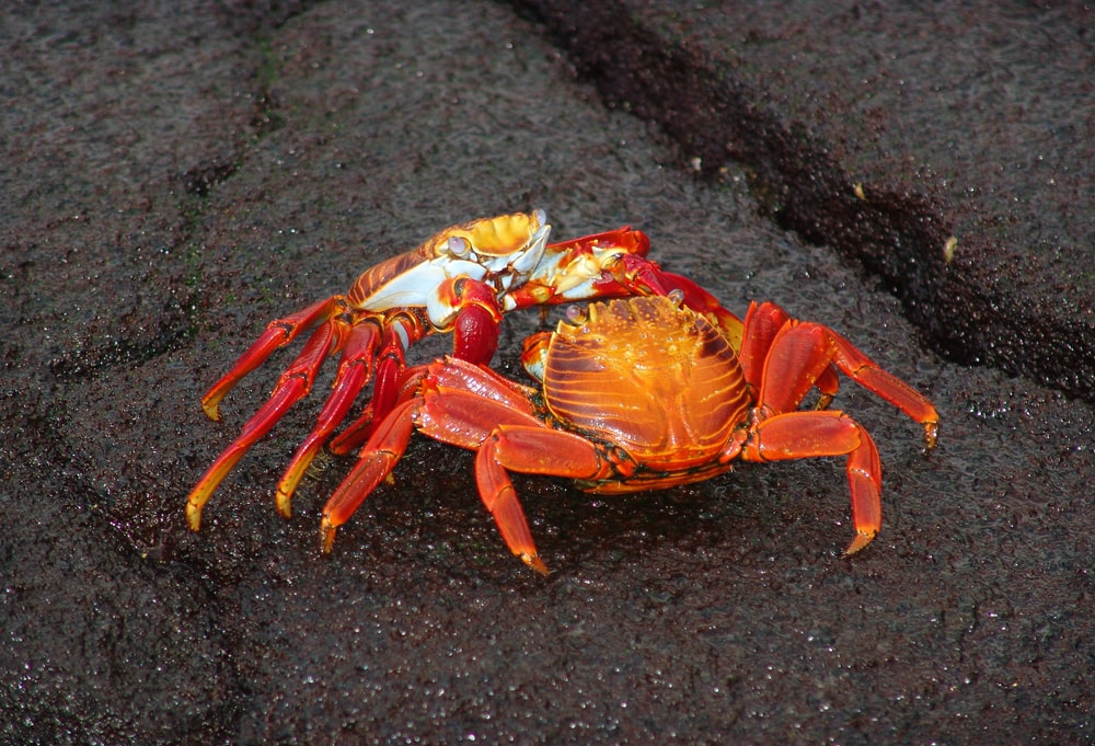 two red crabs fighting on gray sand