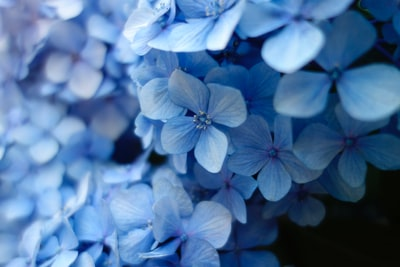 close up photo of blue petaled flower blue teams background