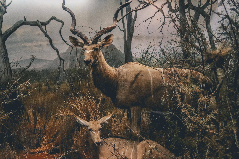 brown deers illustration
