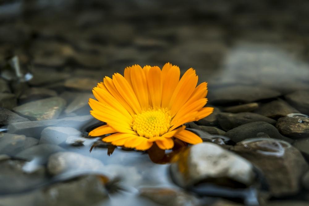close up photography of orange gerbera daisy flower
