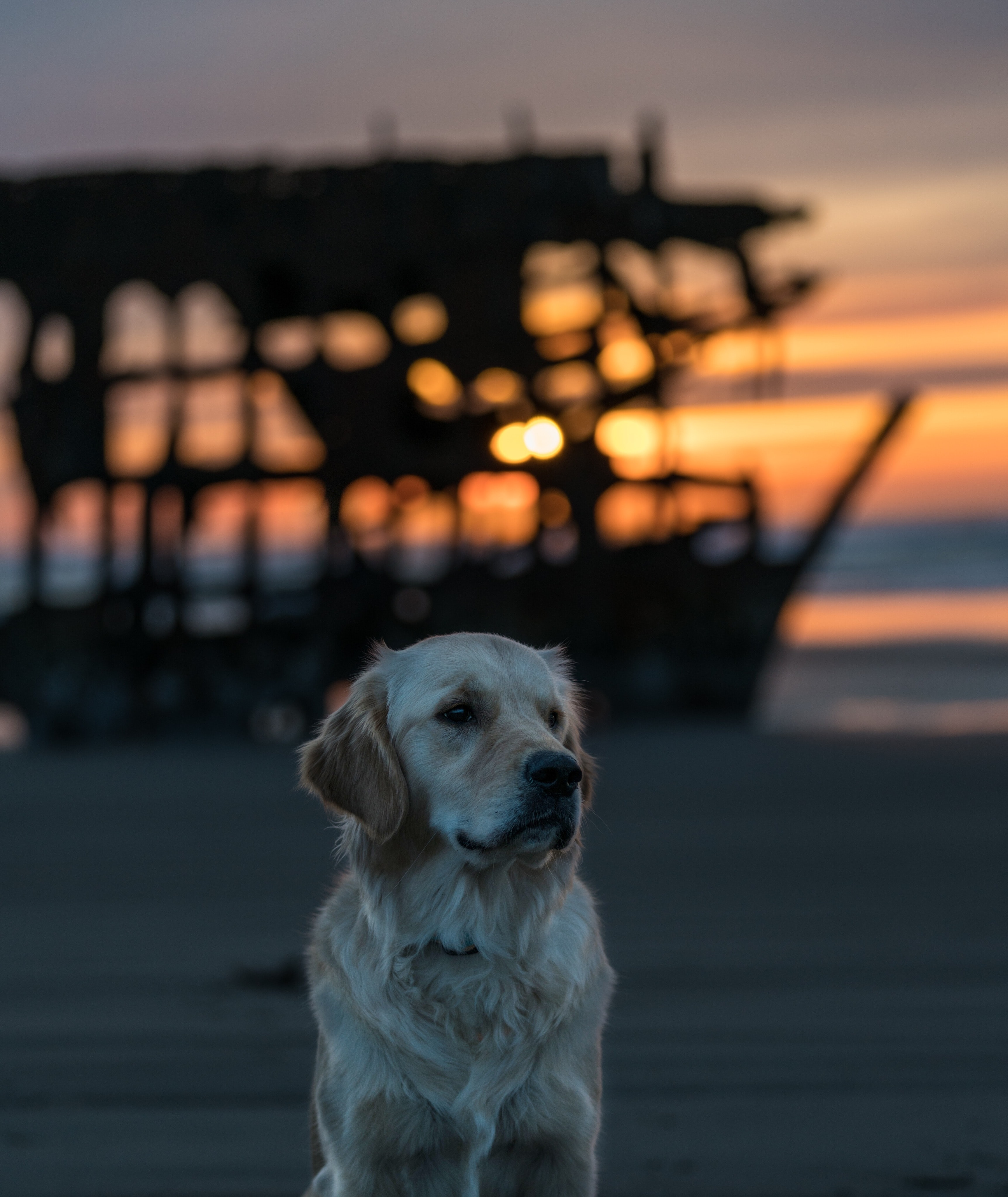 selective focus photography of adult golden retriever sitting on sand surface behind shipwreck golden hour photography