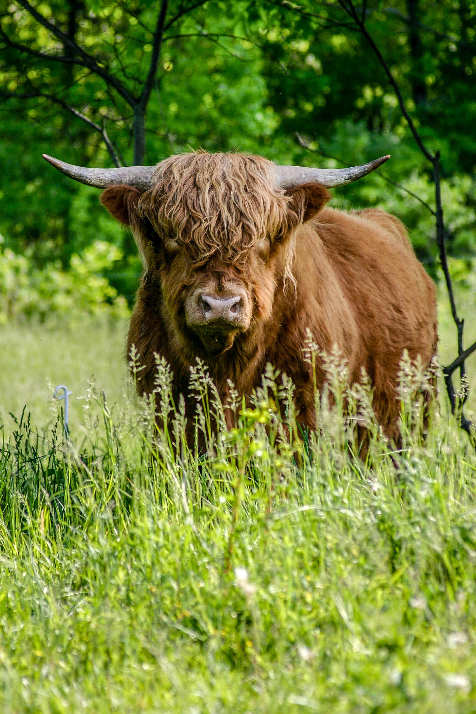 brown yak standing on green grass