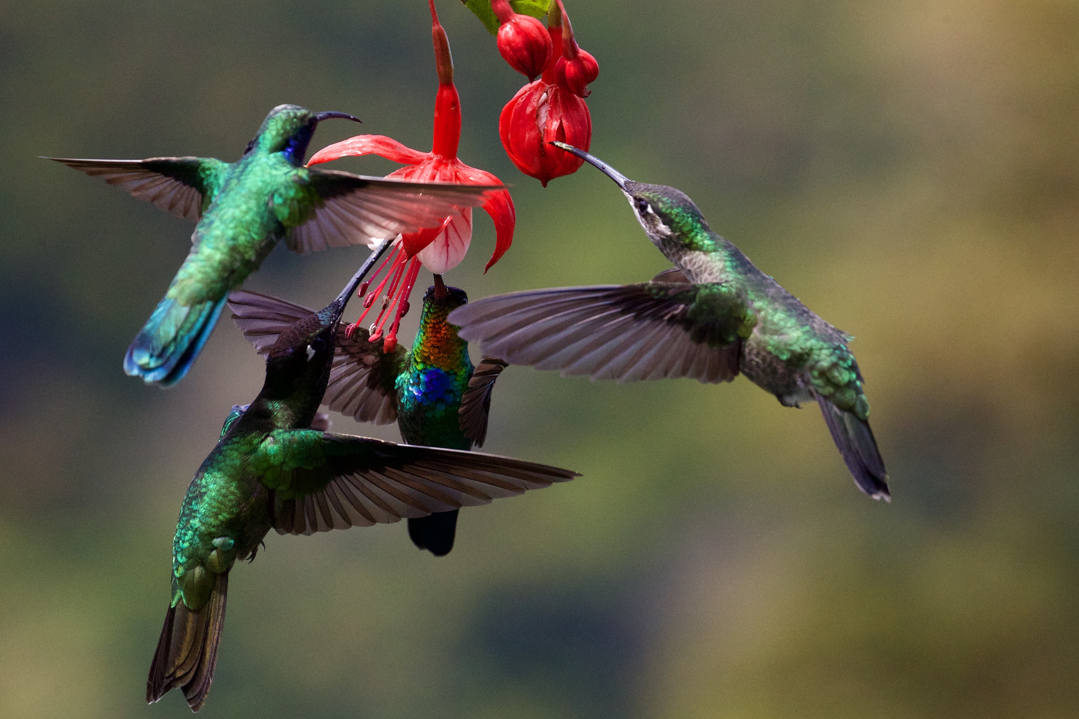selective focus photo of four green humming birds with red flowers