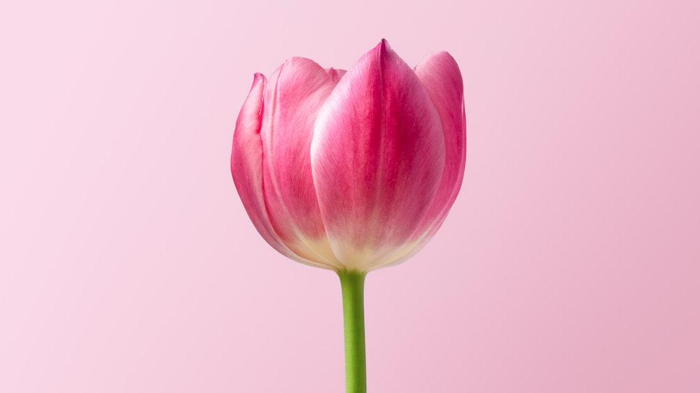 Kết quả hình ảnh cho tulip