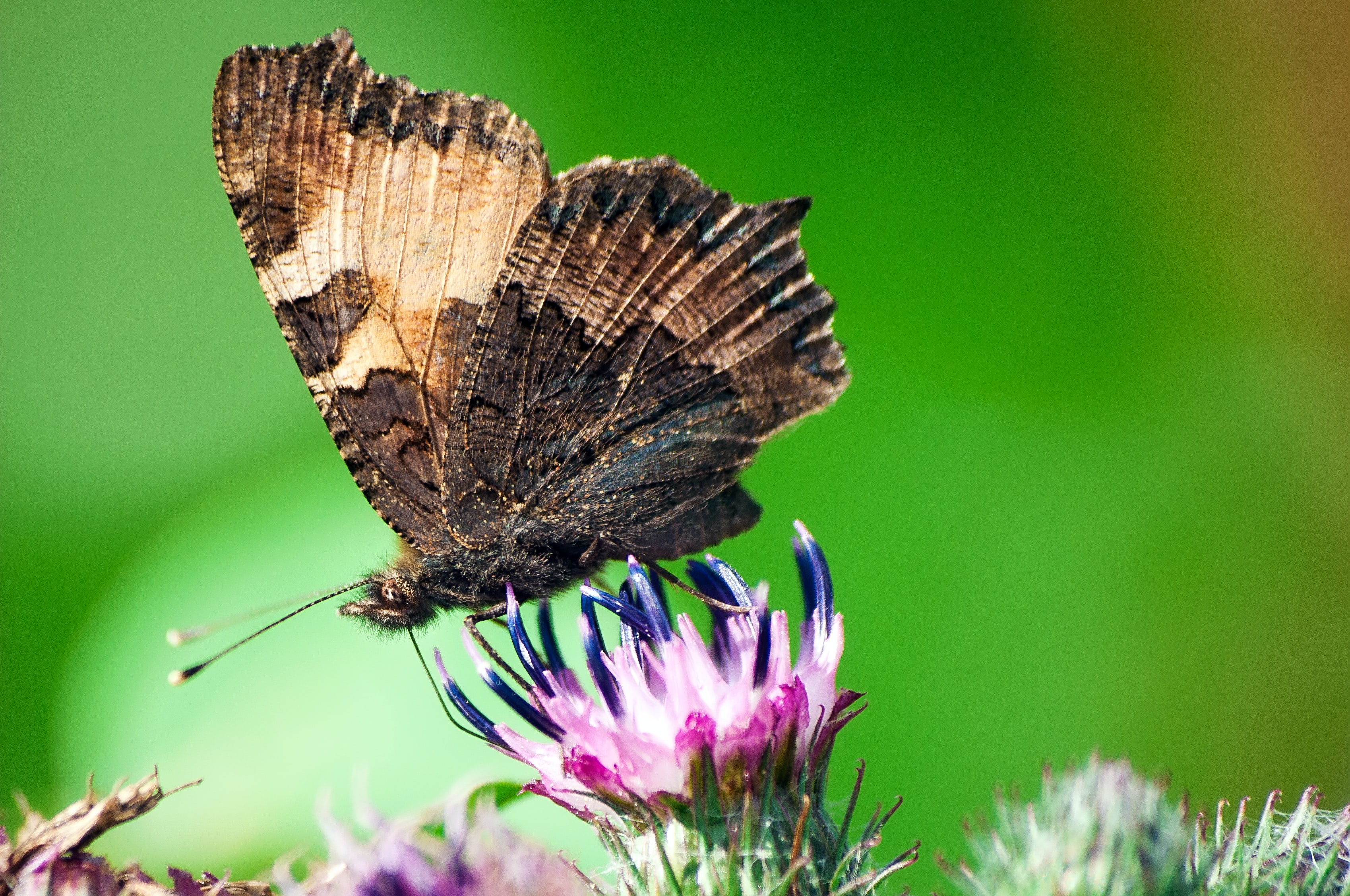 selective focus photography of brown butterfly on purple flower