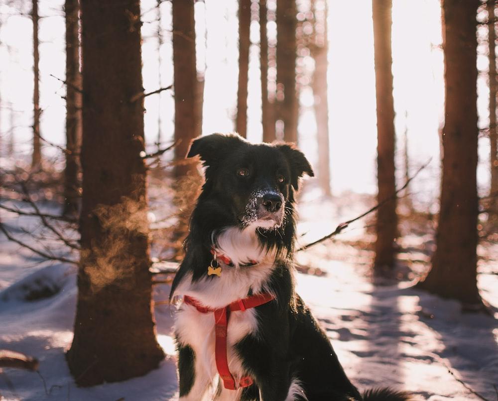 short-coated black and white dog near trees closeup photogrpahy