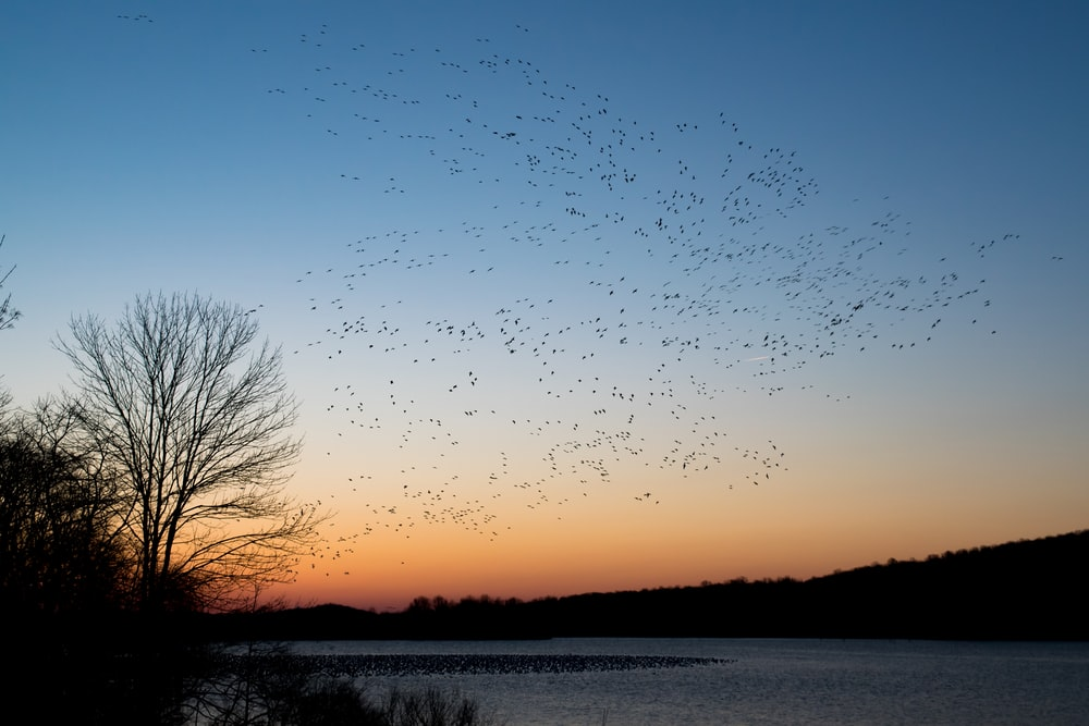 flock of bird flying during sunset