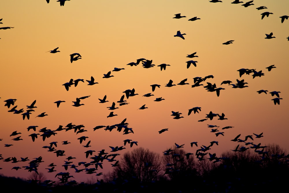 flock of flying birds during golden hour
