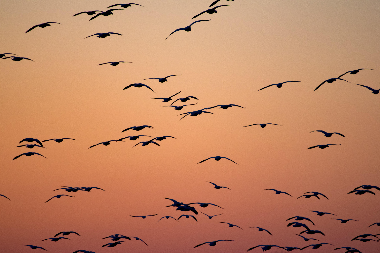 silhouette of birds flying during orange sunset