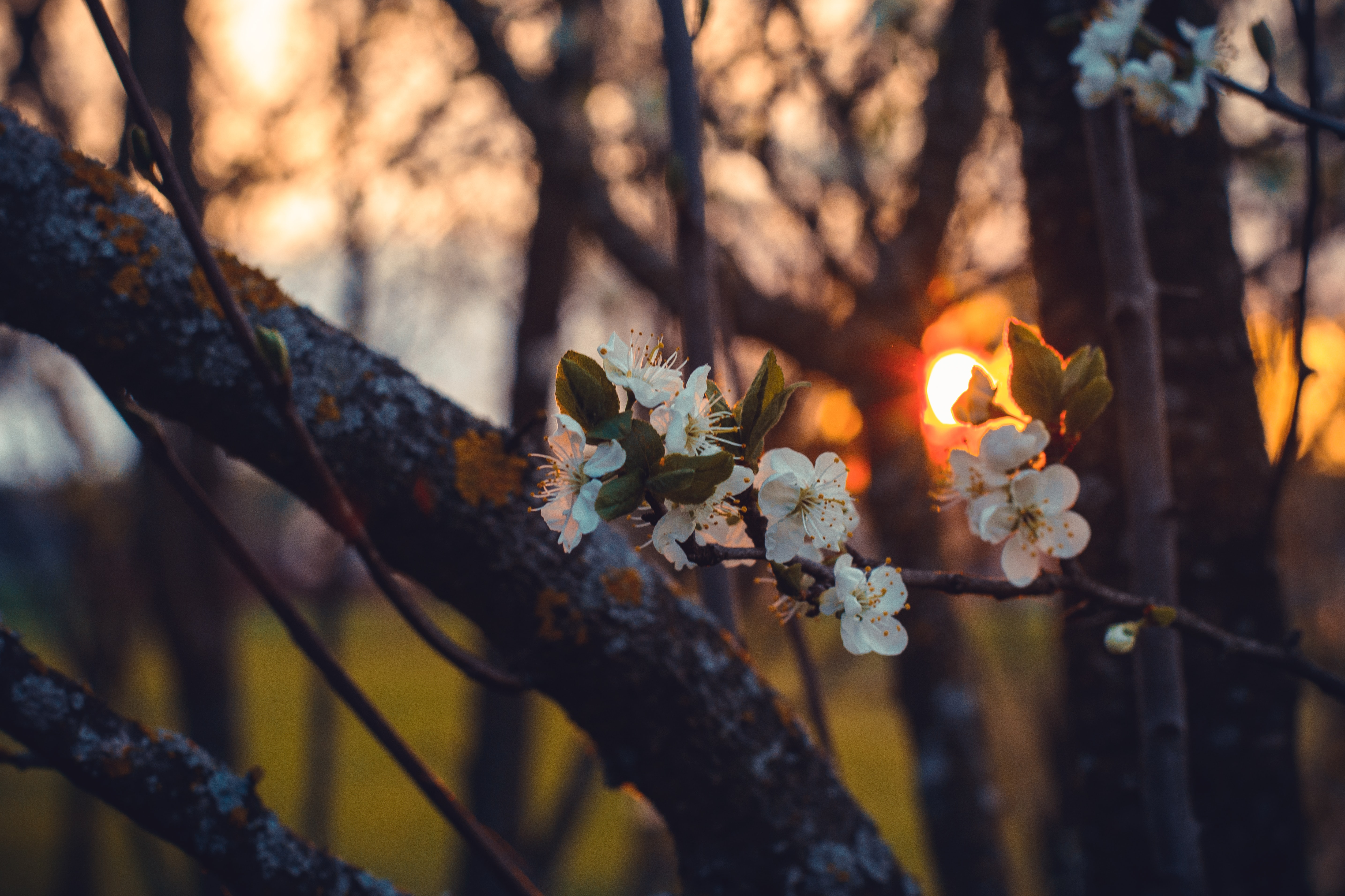 close-up photography of cherry blossom flower during sunset