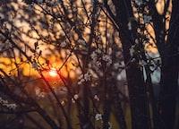 sunset and sakura