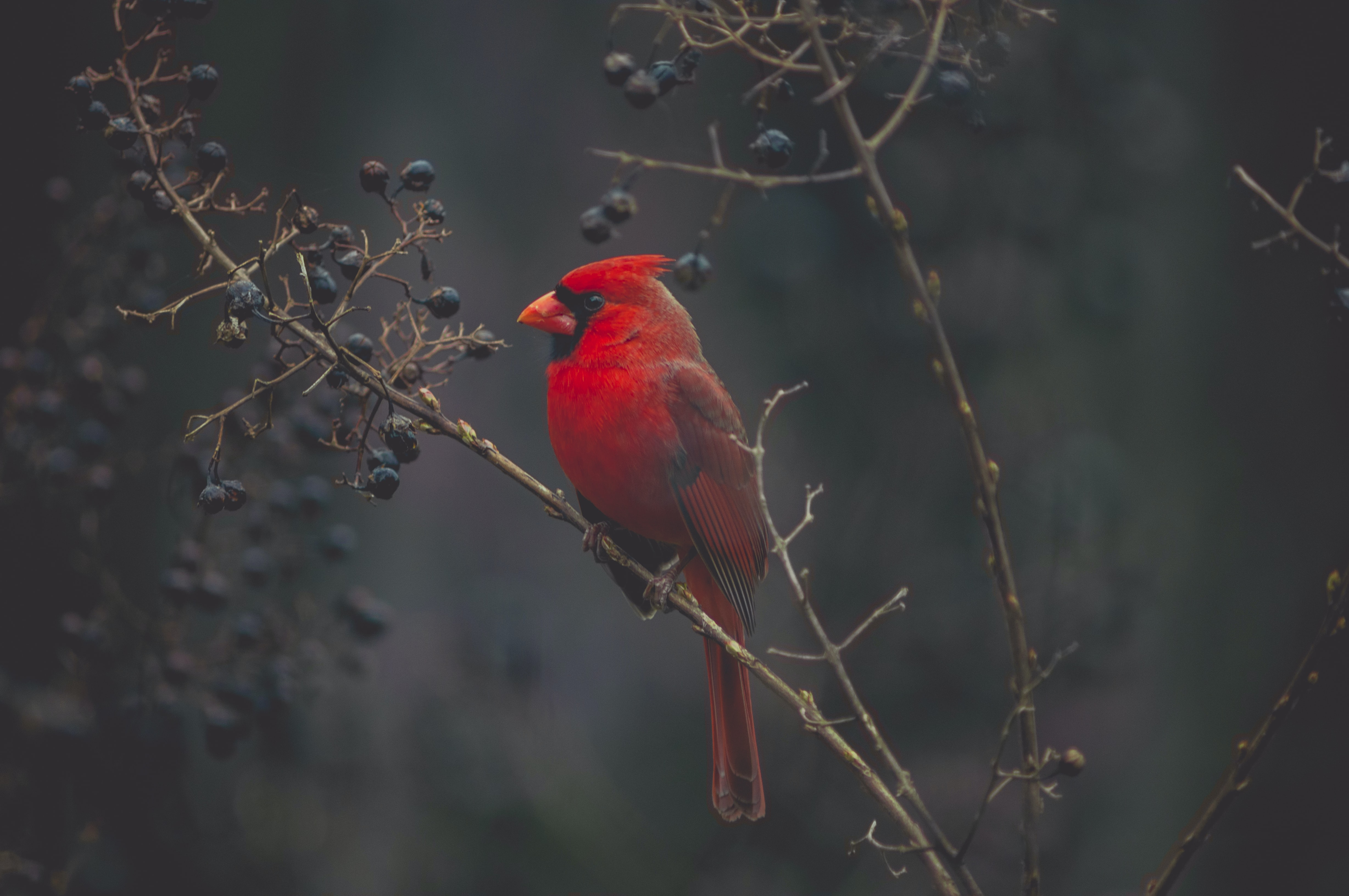 selective focus photography of red cardinal on tree