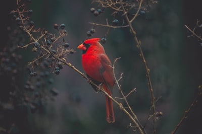 selective focus photography of red cardinal on tree bird zoom background