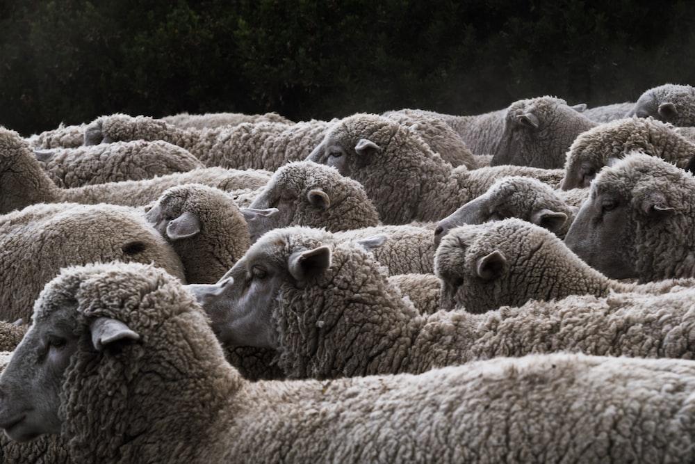 herd of sheep at daytime
