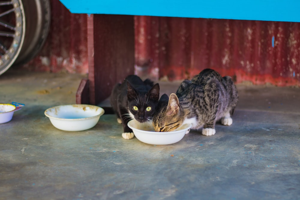 two gray and black cats eating food on white plastic pet bowl