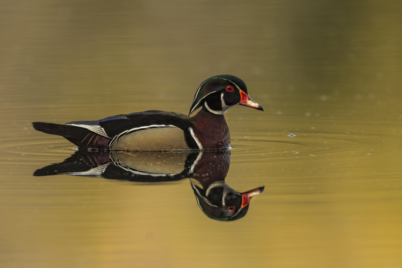 black and brown mallard duck on body of water