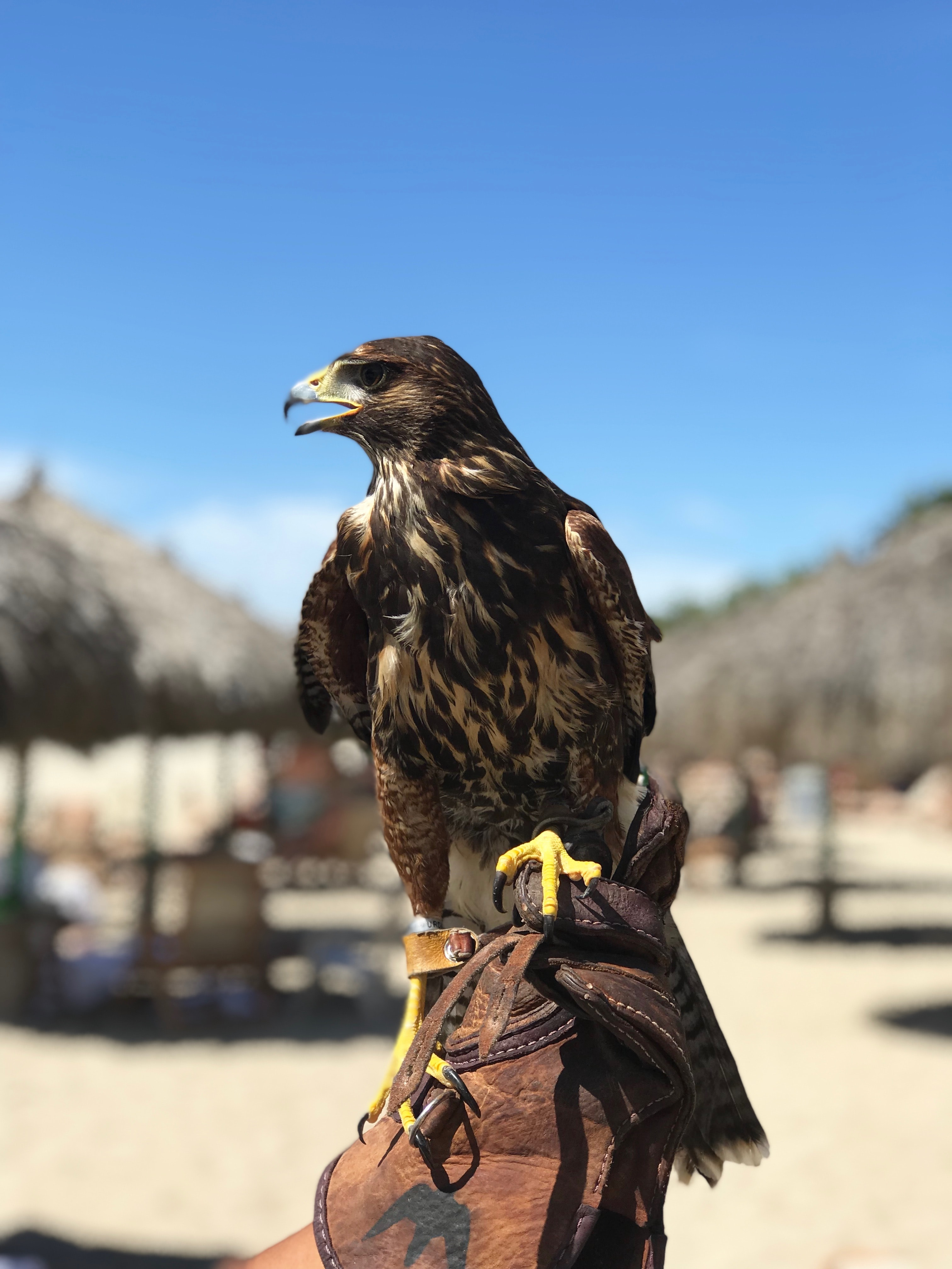 black and brown hawk perching on person's hand wearing brown leather gloves
