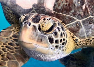 close-up photo of brown and black sea turtle