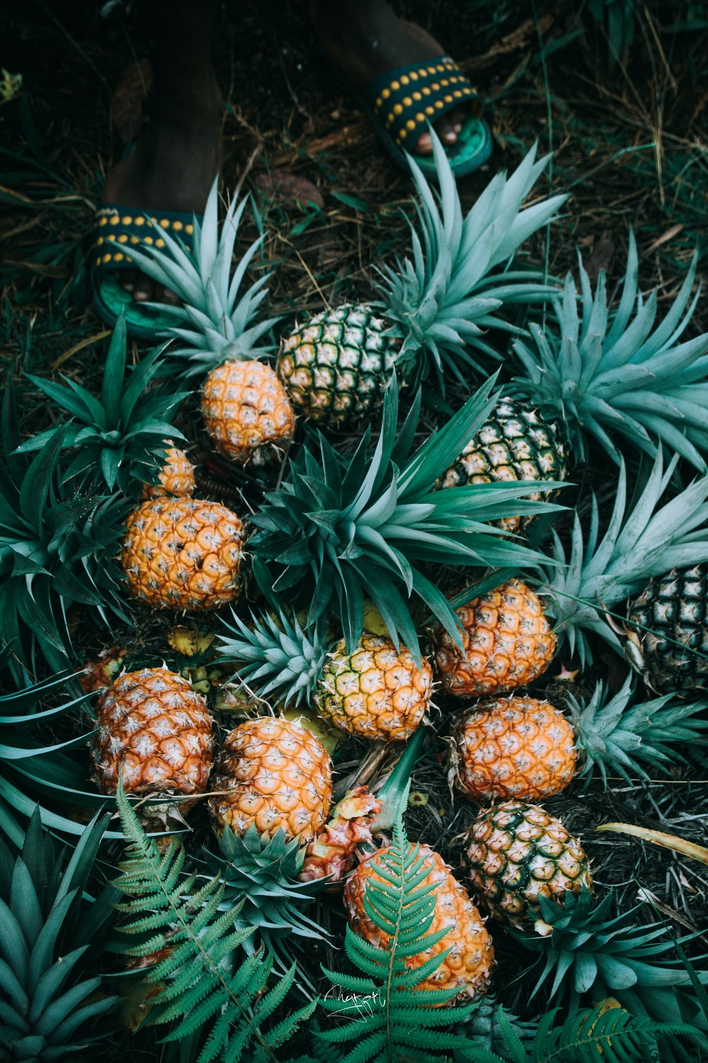 flat-lay photography of bunch of ripe pineapples