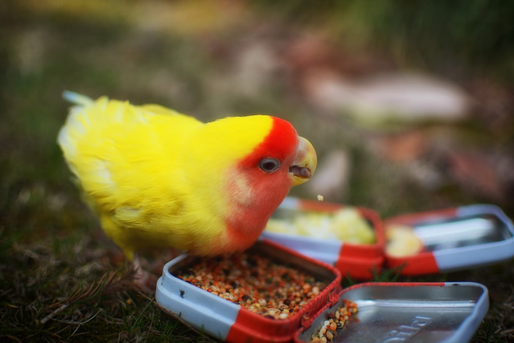 focused photo of a yellow bird eating
