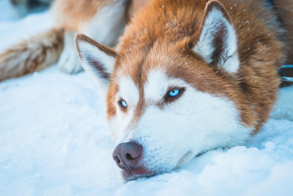 brown and white Siberian husky