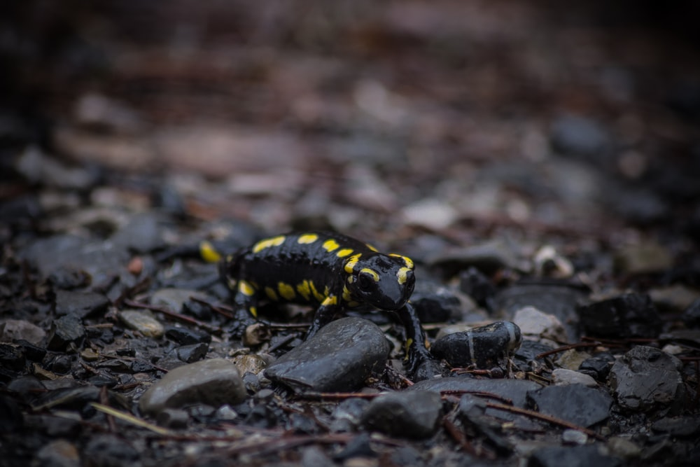 selective focus photo of black and yellow salamander crawling on stones