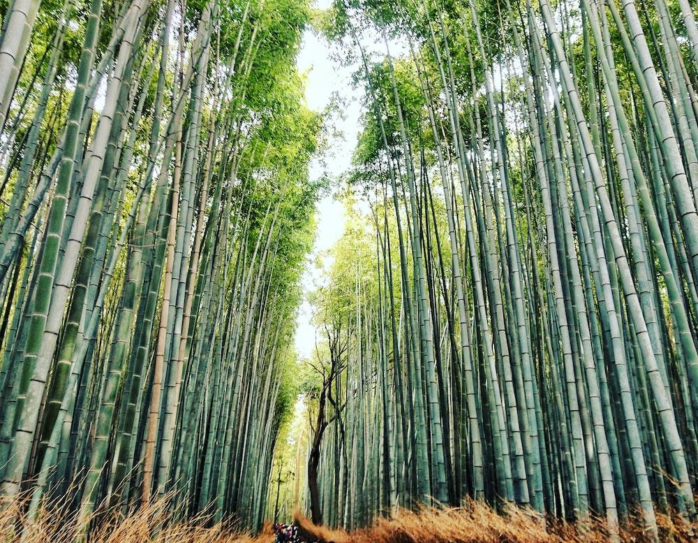 lowangle photography of bamboo tree