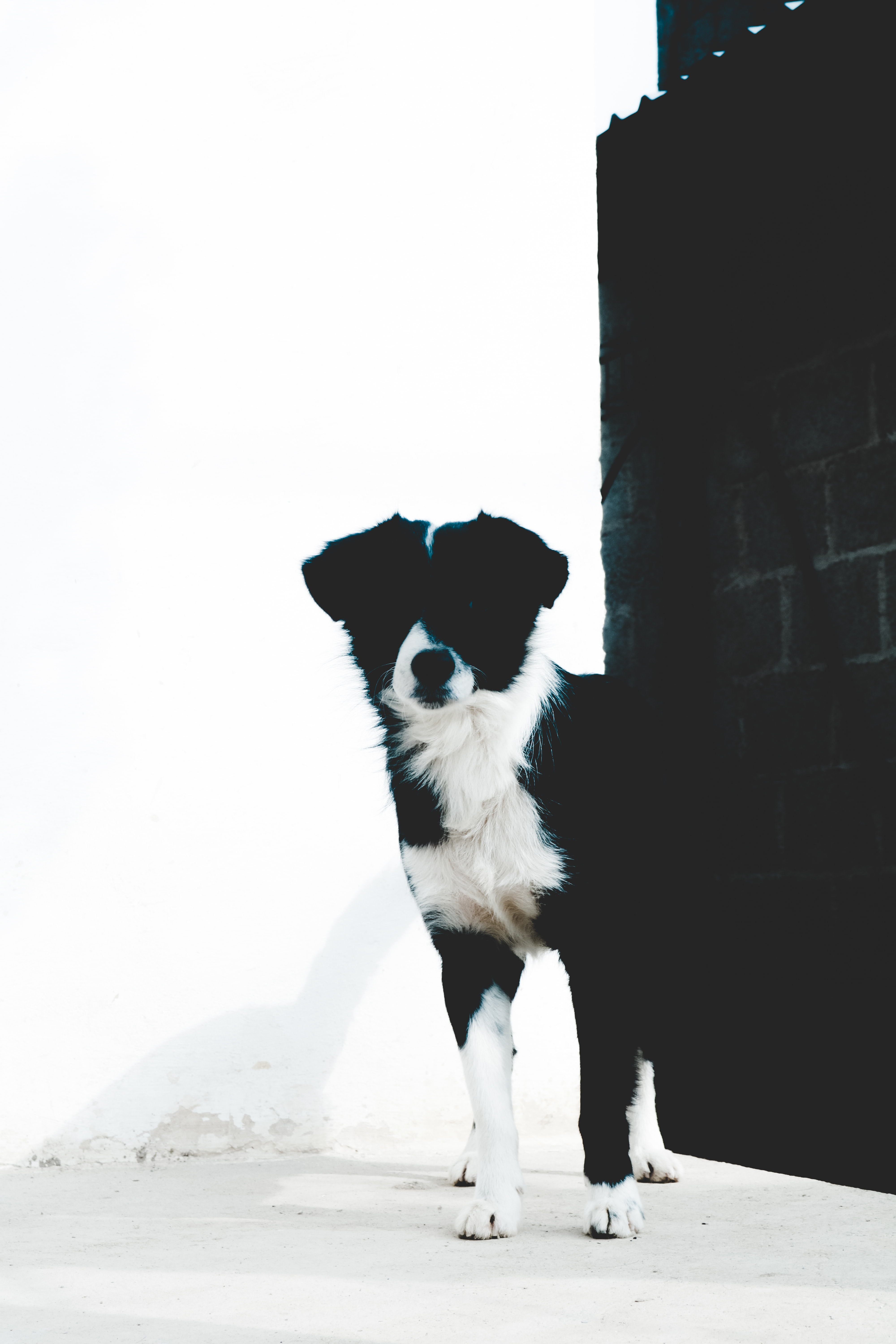 short-coated black and white dog standing near black concrete brick wall