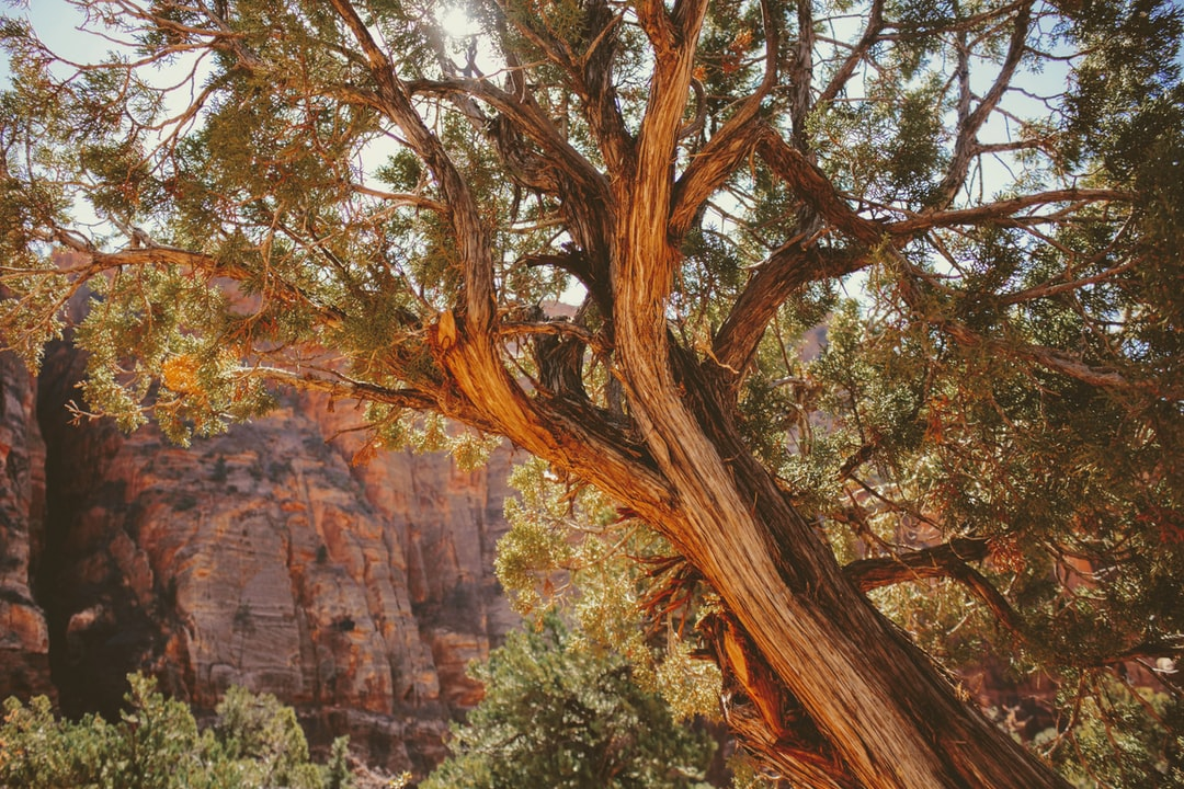 This beauty of a tree in the trail to the Zion Canyon Overlook.
