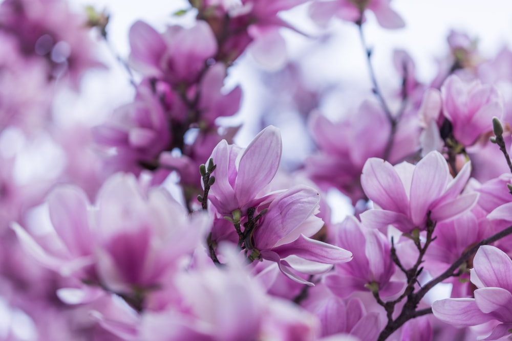 Magnolia Flower Hd Photo By Christopher Jolly At Chrisjolly On