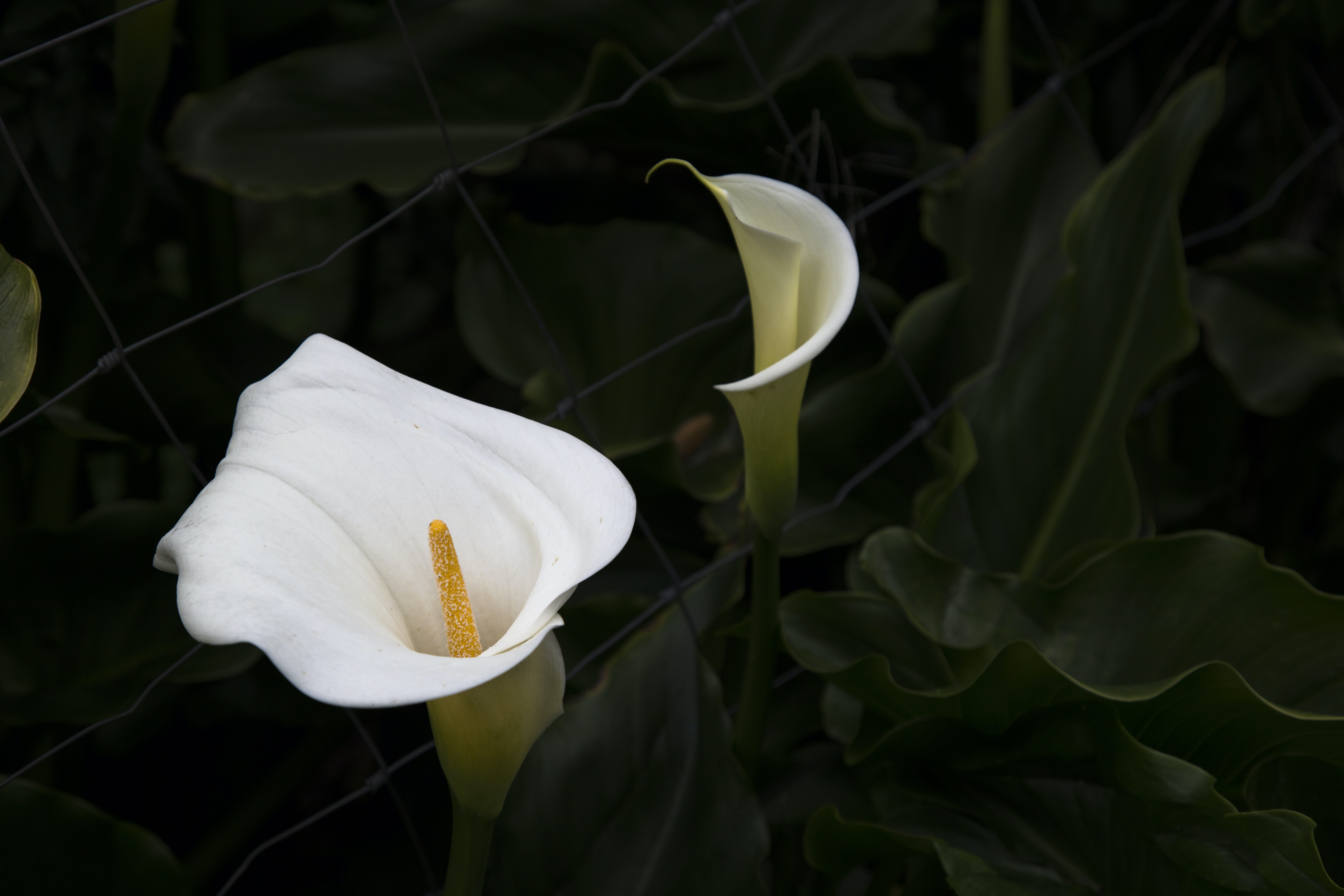 plant with white bell flowers