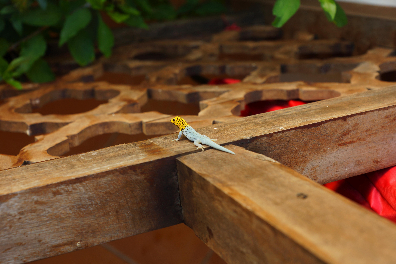lizard walking on brown wooden surface