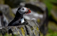 Atlantic puffin catched fish while standing on gray rock during daytime